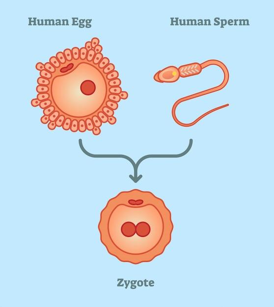 Human zygote diagram