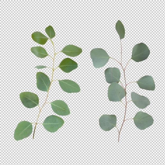 Eucalypthus Pozostawia Odizolowane Premium Psd