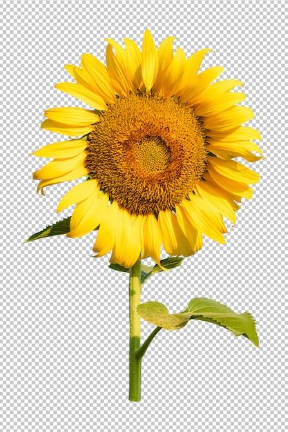Słonecznikowy Kwiat Przezroczystość Isoleated Tło Premium Psd