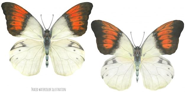 Akwarela Motyle Hebomoia Premium Wektorów