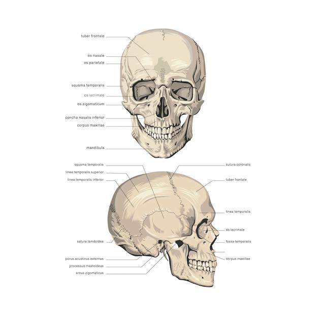 Anatomia Czaszki Premium Wektorów