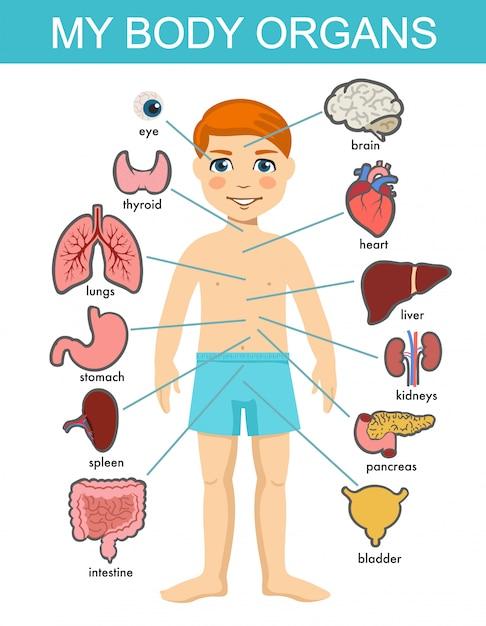 Anatomia Ludzkiego Ciała, Układ Dziecięcych Narządów Medycznych. Narządy Wewnętrzne Ciała Chłopca. Medyczna Anatomia Człowieka Dla Dzieci, Zestaw Kreskówka Narządów Dziecka. Dzieciaka Systemu Wnętrzności Diagram Na Białym Tle. Premium Wektorów