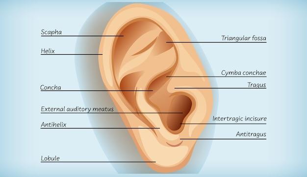 Anatomia Ucha Zewnętrznego Darmowych Wektorów