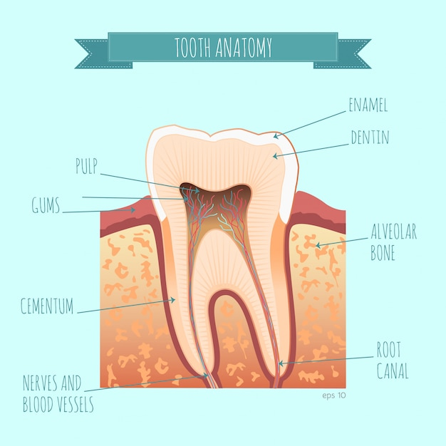 Anatomia Zęba Premium Wektorów