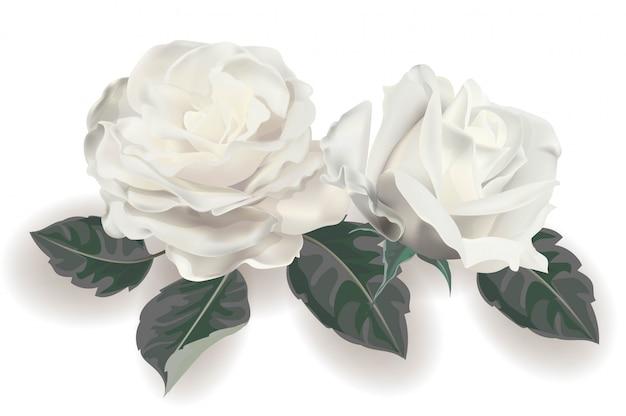 Białej róży realistyczna wektorowa ilustracja Premium Wektorów