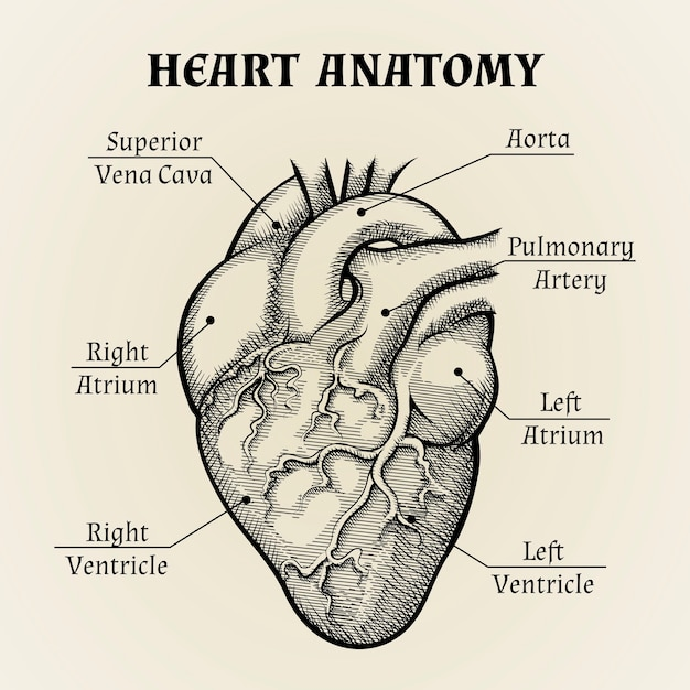 Bliska Czarno-biała Anatomia Serca Z Projektowaniem Graficznym Etykiet. Darmowych Wektorów