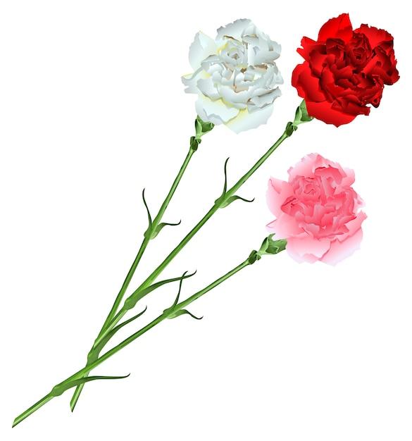 Bukiet Białych, Różowych I Czerwonych Goździków Premium Wektorów