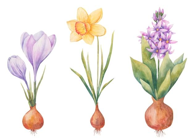 Bulwiaste Rośliny Na Wiosnę, Hiacynt, Krokus I żonkil Na Białym Tle Premium Wektorów