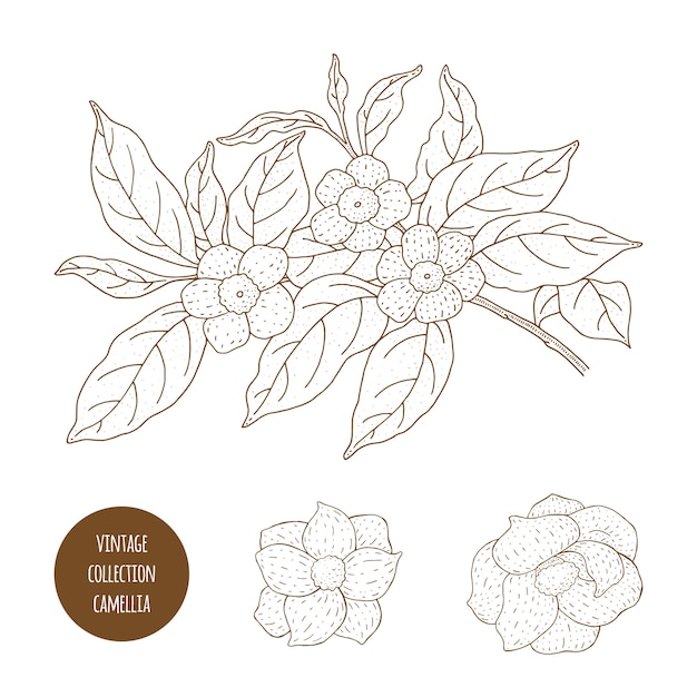 Camellia Sinensis Kwiaty I Gałąź. Zakłady Kosmetyczne, Perfumeryjne I Medyczne. Ręka Starodawny Ilustracja. Premium Wektorów