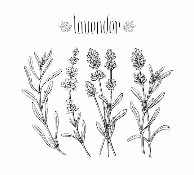 Czarny Na Białym Tle Lawendy Gałęzie, Ręcznie Rysowane Liście I Kwiaty Roślin. Premium Wektorów