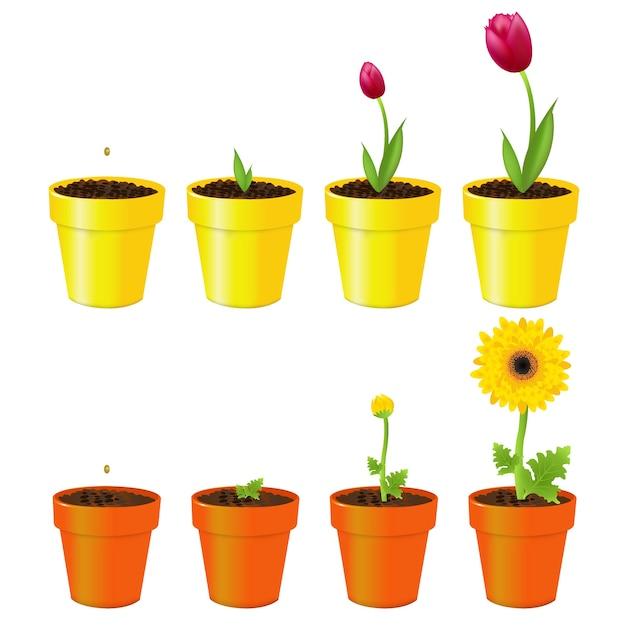 Daisy I Tulipan W Doniczkach, Proces Wzrostu, Na Białym Tle Premium Wektorów