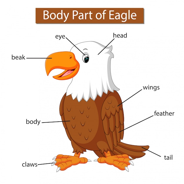 Diagram przedstawiający część ciała orła Premium Wektorów