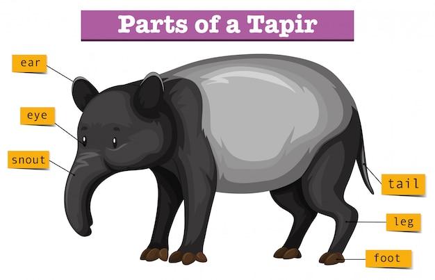 Diagram przedstawiający części tapiru Darmowych Wektorów