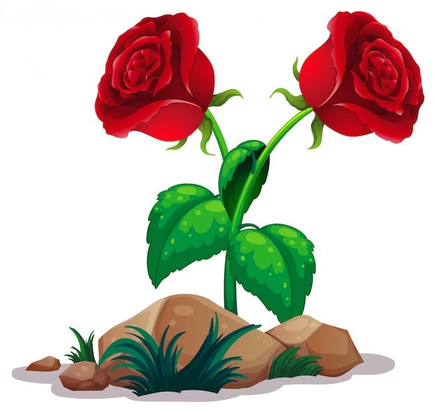 Dwie czerwone róże na białym tle Darmowych Wektorów