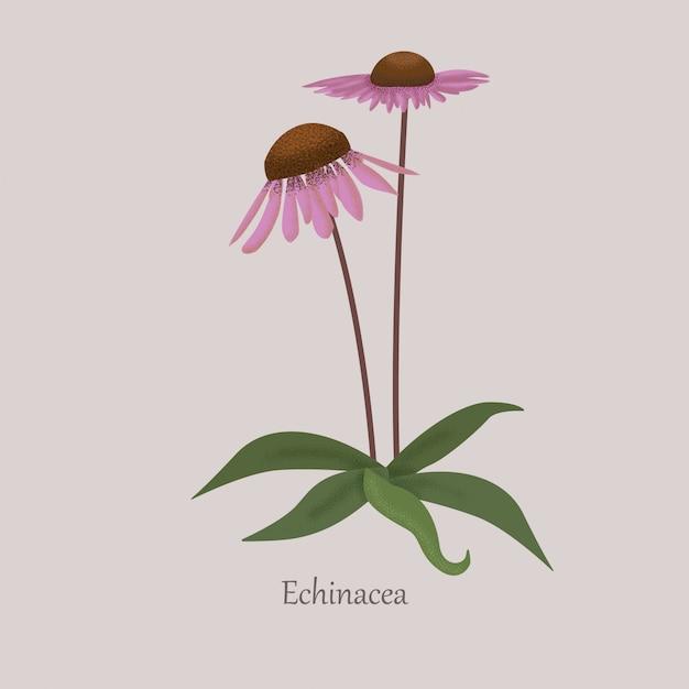 Echinacea Bylina Ziołowa Z Fioletowymi Kwiatami. Premium Wektorów