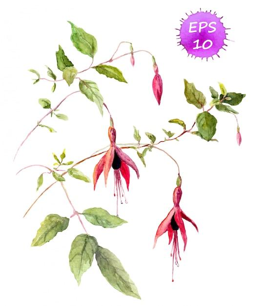 Fuksja różowy kwiat - akwarela Premium Wektorów