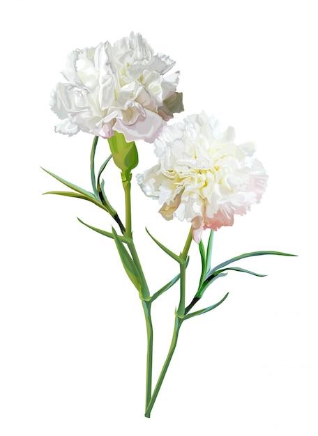 Goździka Kwiat Odizolowywający Na Bielu Premium Wektorów