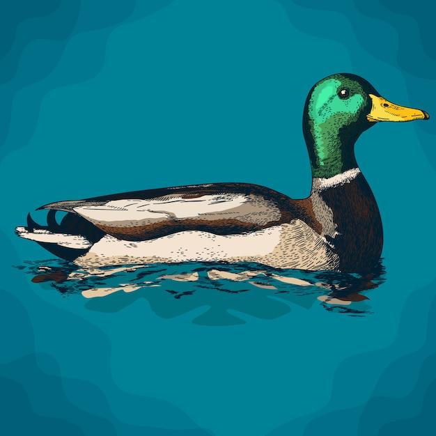 Grawerowanie ilustracja kaczki mullard Premium Wektorów