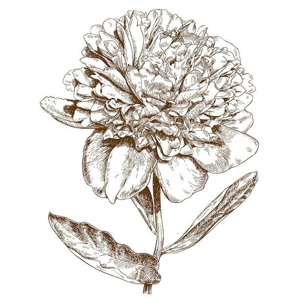 Grawerowanie ilustracja kwiat piwonii Premium Wektorów