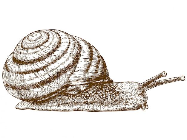 Grawerowanie ilustracja ślimaka Premium Wektorów