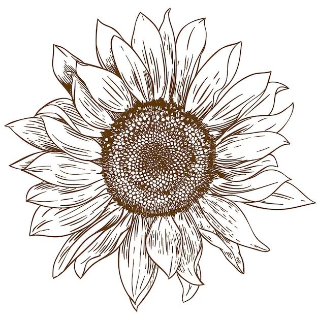 Grawerowanie Rysunek Duży Słonecznik Premium Wektorów