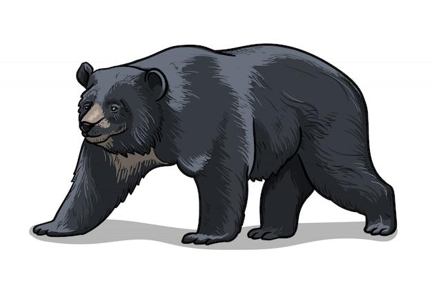 Himalajski Niedźwiedź Na Białym Tle W Stylu Cartoon. Edukacyjna Ilustracja Zoologii, Obraz Do Kolorowania. Premium Wektorów