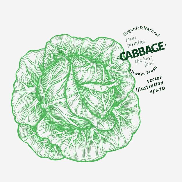 Ilustracja kapusty. ręcznie rysowane ilustracja warzyw. Premium Wektorów