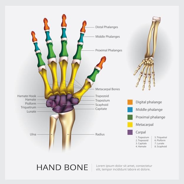 Ilustracja Kości Ręki Premium Wektorów