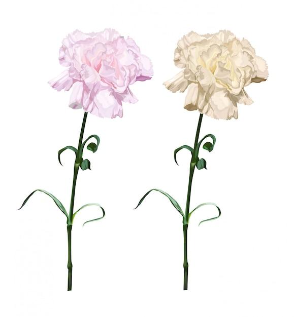 Ilustracja Kwiat Goździka Na Białym Tle Premium Wektorów