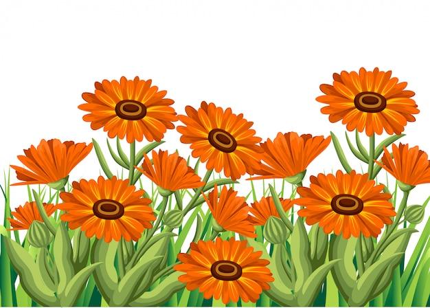 Ilustracja Kwiaty Nagietka Na Białym Tle. Zioła Lecznicze W Stylu Szkicu Premium Wektorów