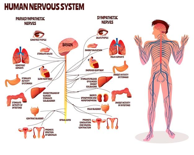 Ilustracja ludzki układ nerwowy. kreskówka projekt ciała człowieka z mózg przywspółczulny Darmowych Wektorów