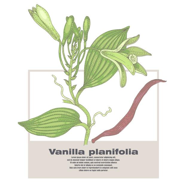 Ilustracja Roślin Wanilii. Premium Wektorów