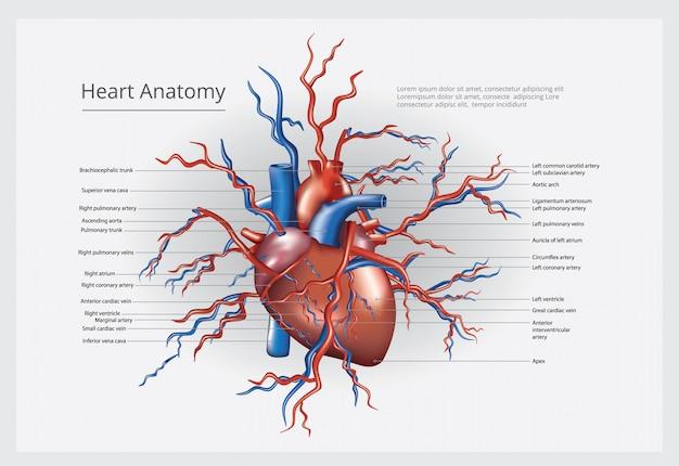Ilustracja Wektorowa Anatomii Serca Darmowych Wektorów