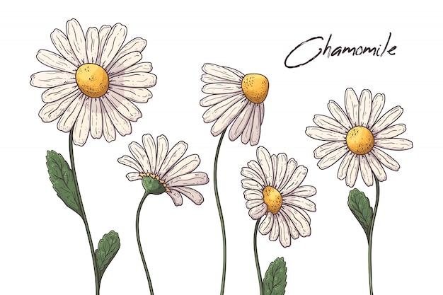Ilustracje Botaniki Kwiatowej. Kwiaty Rumianku. Premium Wektorów