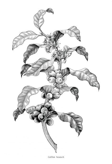 Kawa Gałąź Ręcznie Rysunek Sztuka Clipart Na Białym Tle Premium Wektorów