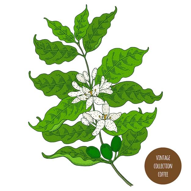 Kawa. Vintage Botanika Wektor Ręcznie Rysowane Ilustracja Na Białym Tle. Styl Szkicu Premium Wektorów