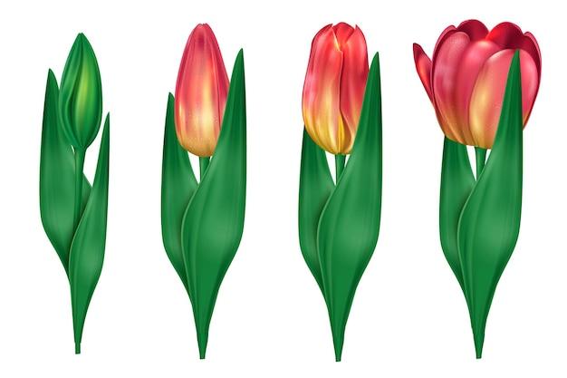 Kolekcja Tulipanów, Które Otwierają Ilustrację Premium Wektorów
