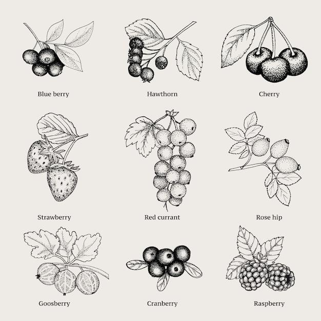 Kolekcja Vintage Natural Berries Darmowych Wektorów