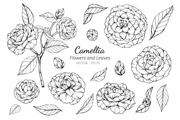 Kolekcja Zestaw Kamelia Kwiat I Liście Rysunek Ilustracja. Premium Wektorów