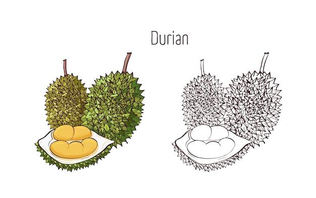 Kolorowe I Zarysowe Rysunki W Monochromatycznych Kolorach Duriana Na Białym Tle Premium Wektorów