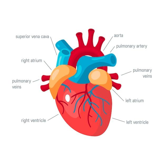 Koncepcja Ludzkiego Serca Na Białym Tle Premium Wektorów