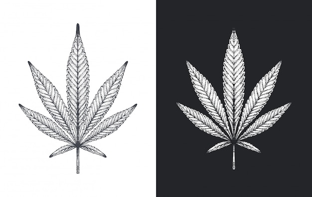 Konopie Indyjskie Lub Marihuana Pozostawia Szkic Wektor Premium Wektorów
