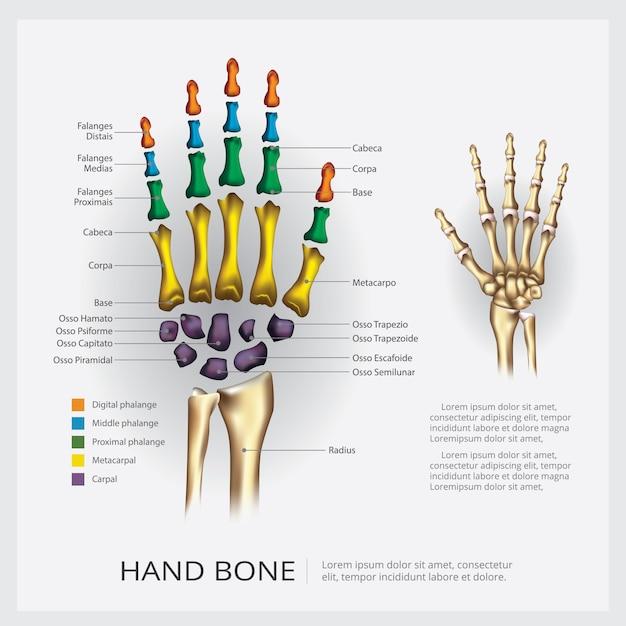 Kość Ręki Anatomii Człowieka Premium Wektorów