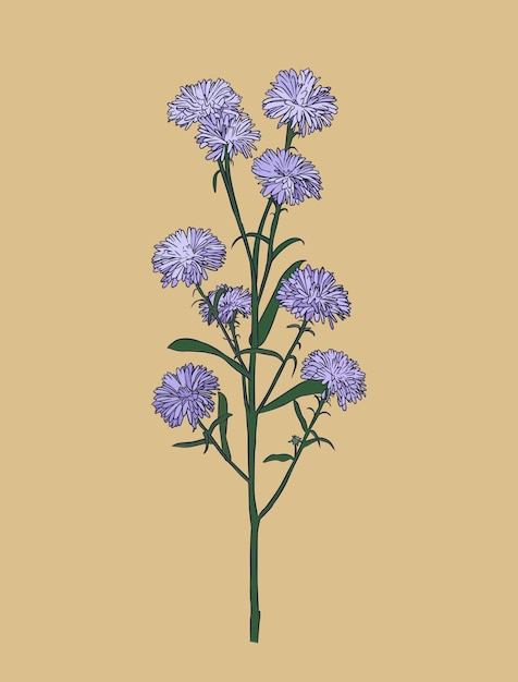 Kwiat aster Premium Wektorów