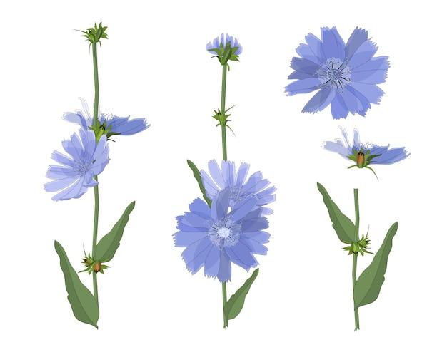 Kwiaty Cykorii Niebieskiej Z łodygą I Liśćmi. Elementy Kwiatowe Na Białym Tle Premium Wektorów
