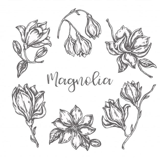 Kwiaty Magnolii Rysunek Zestaw Ręcznie Rysowane Tuszem Premium Wektorów