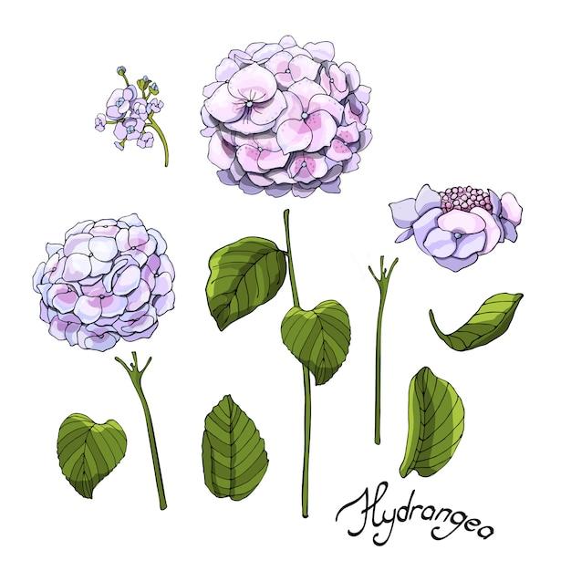 Kwiaty Ogrodowe Wektor. Zestaw Różowo-niebieskiej Hortensji Kwitnącej Z Pąkami Premium Wektorów