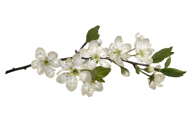 Kwitnąca Gałąź Wiśni Z Białymi Kwiatami. Premium Wektorów