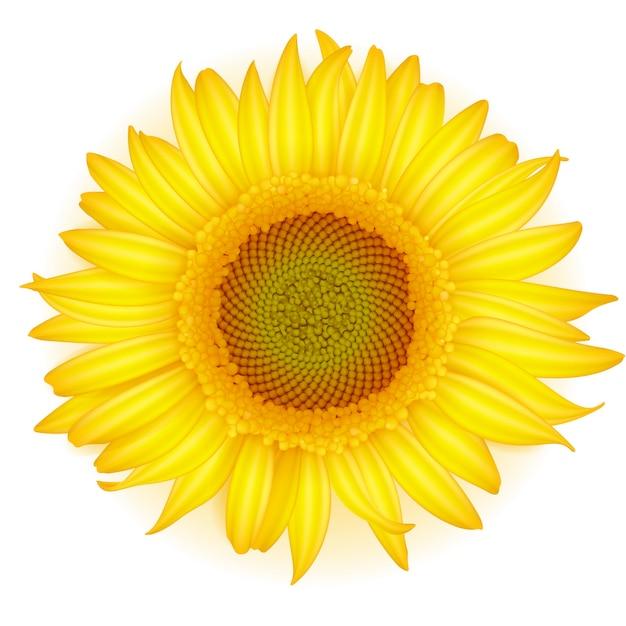 Kwitnący Słonecznik W Realistycznym Stylu Na Białym Tle. Premium Wektorów
