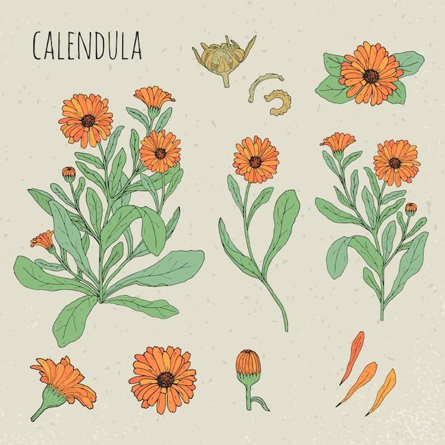 Nagietek Medycznych Ilustracji Botanicznych. Roślin, Kwiatów, Płatków, Liści, Ręcznie Rysowane Zestaw Nasion. Premium Wektorów